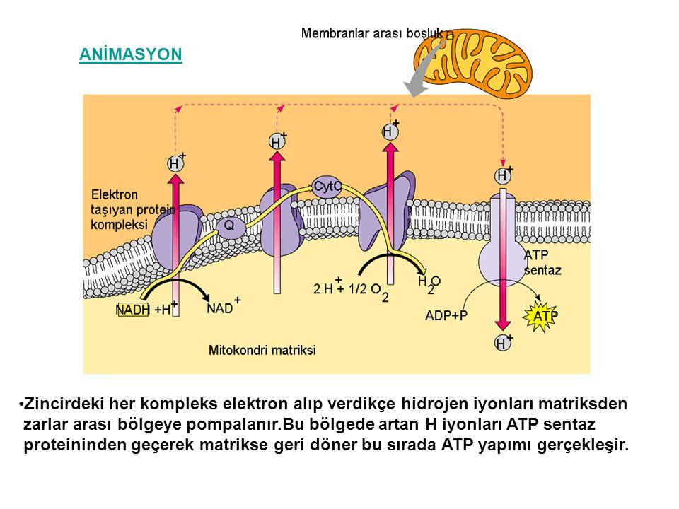 ANİMASYON Zincirdeki her kompleks elektron alıp verdikçe hidrojen iyonları matriksden.
