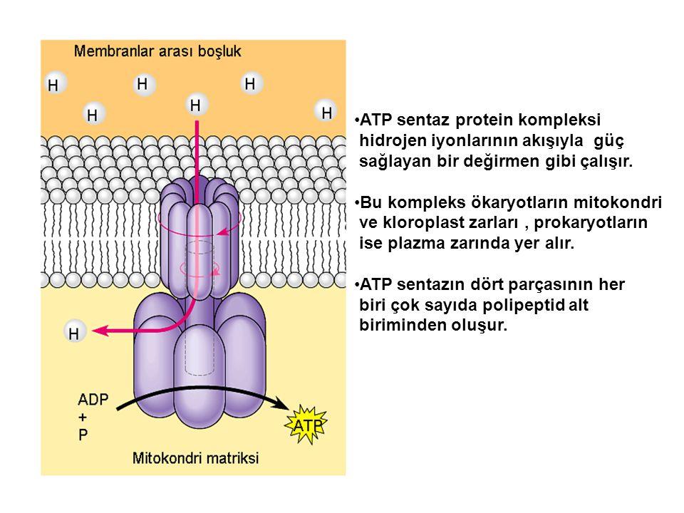 ATP sentaz protein kompleksi