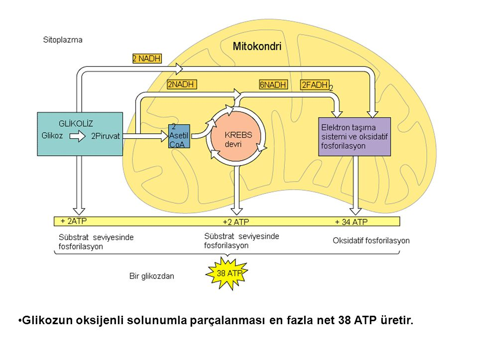 Glikozun oksijenli solunumla parçalanması en fazla net 38 ATP üretir.