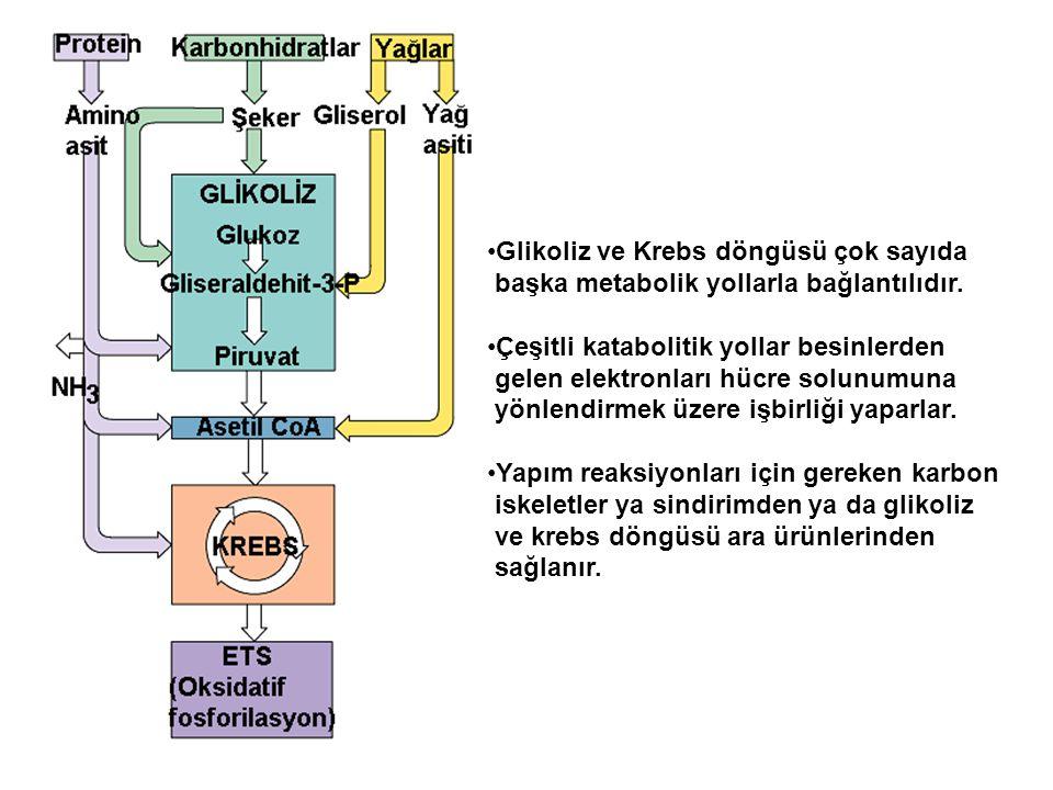 Glikoliz ve Krebs döngüsü çok sayıda