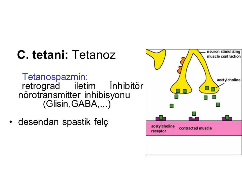 C. tetani: Tetanoz Tetanospazmin: retrograd iletim İnhibitör nörotransmitter inhibisyonu. (Glisin,GABA,...)