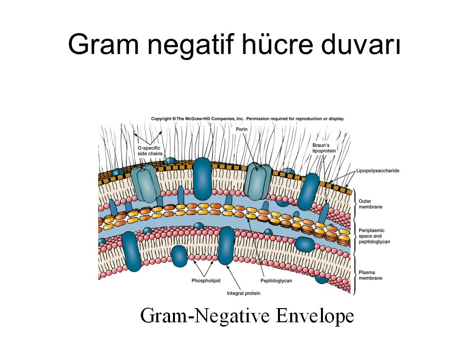 Gram negatif hücre duvarı