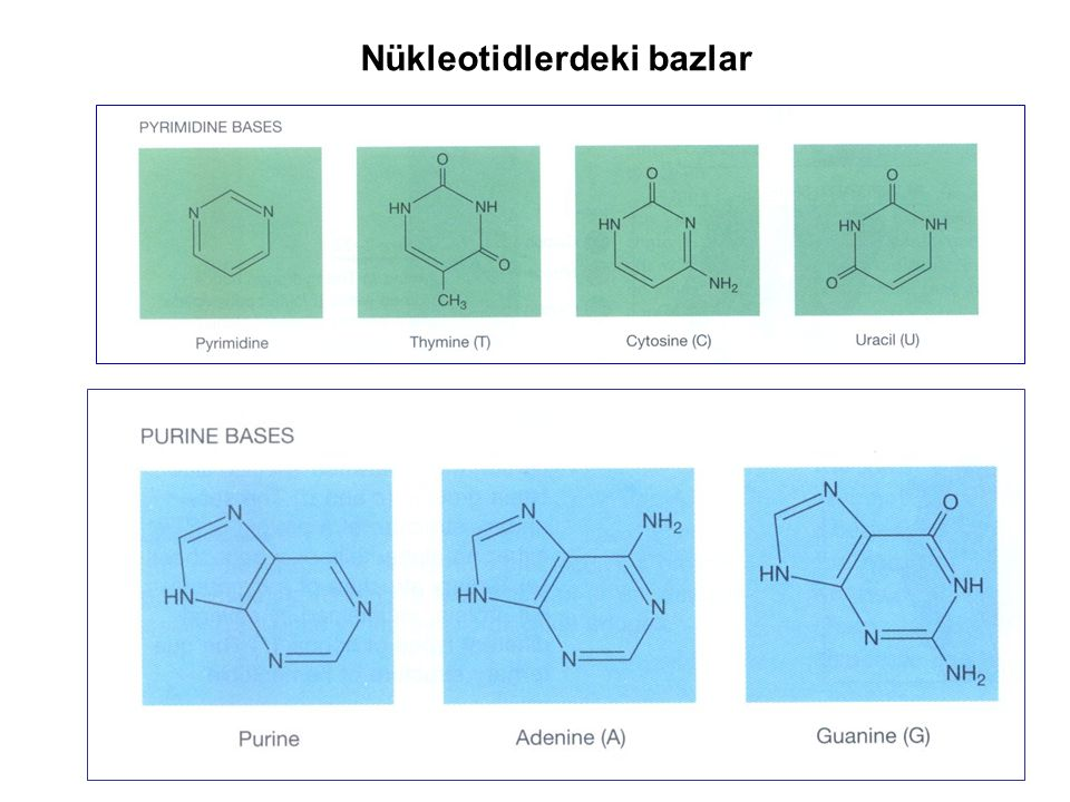 Nükleotidlerdeki bazlar