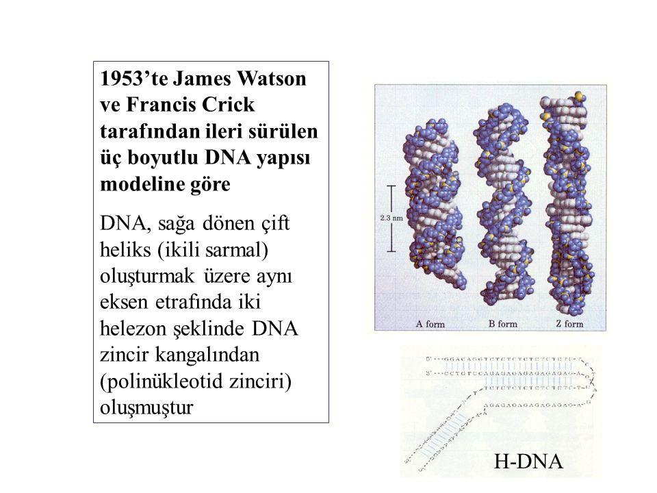 1953'te James Watson ve Francis Crick tarafından ileri sürülen üç boyutlu DNA yapısı modeline göre