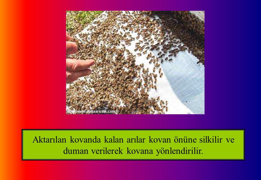 Aktarılan kovanda kalan arılar kovan önüne silkilir ve duman verilerek kovana yönlendirilir.