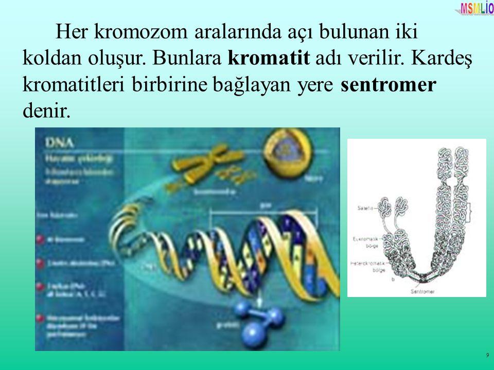 Her kromozom aralarında açı bulunan iki koldan oluşur