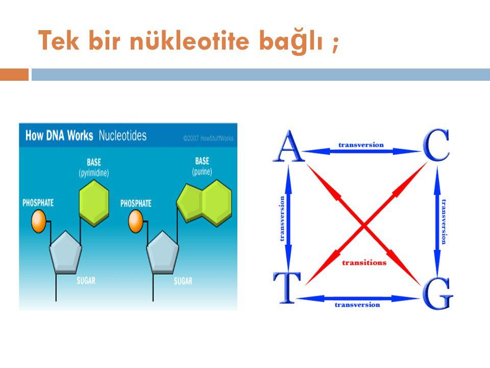 Tek bir nükleotite bağlı ;