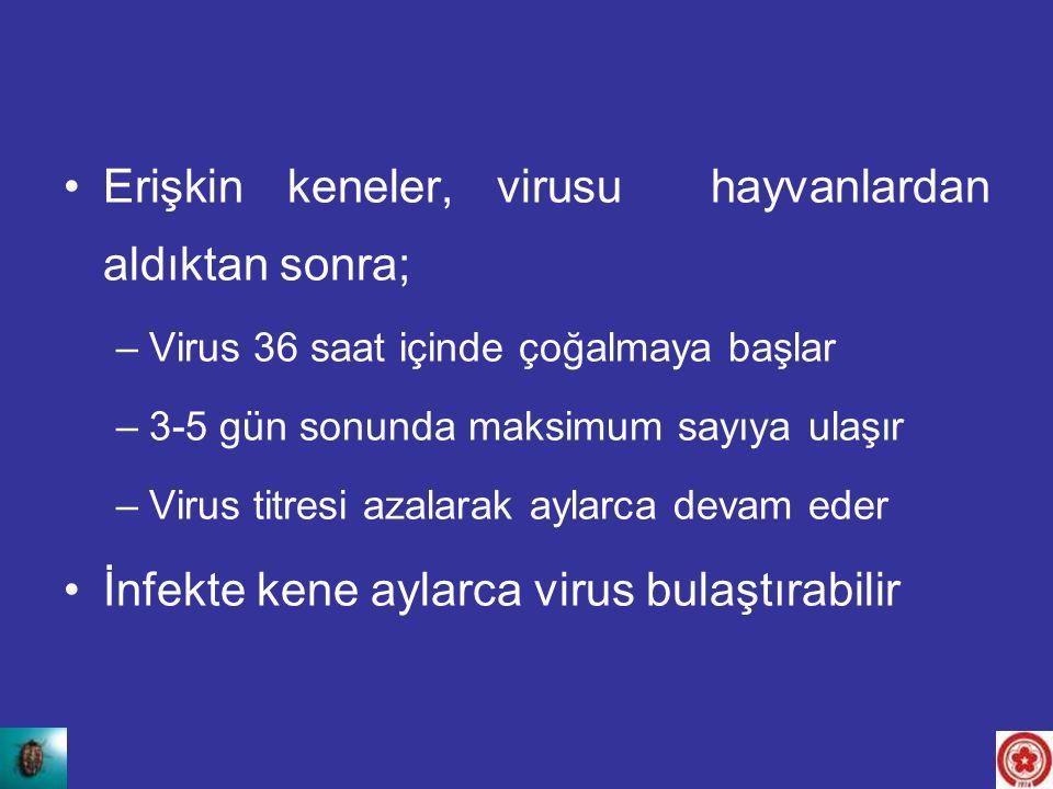 Erişkin keneler, virusu hayvanlardan aldıktan sonra;