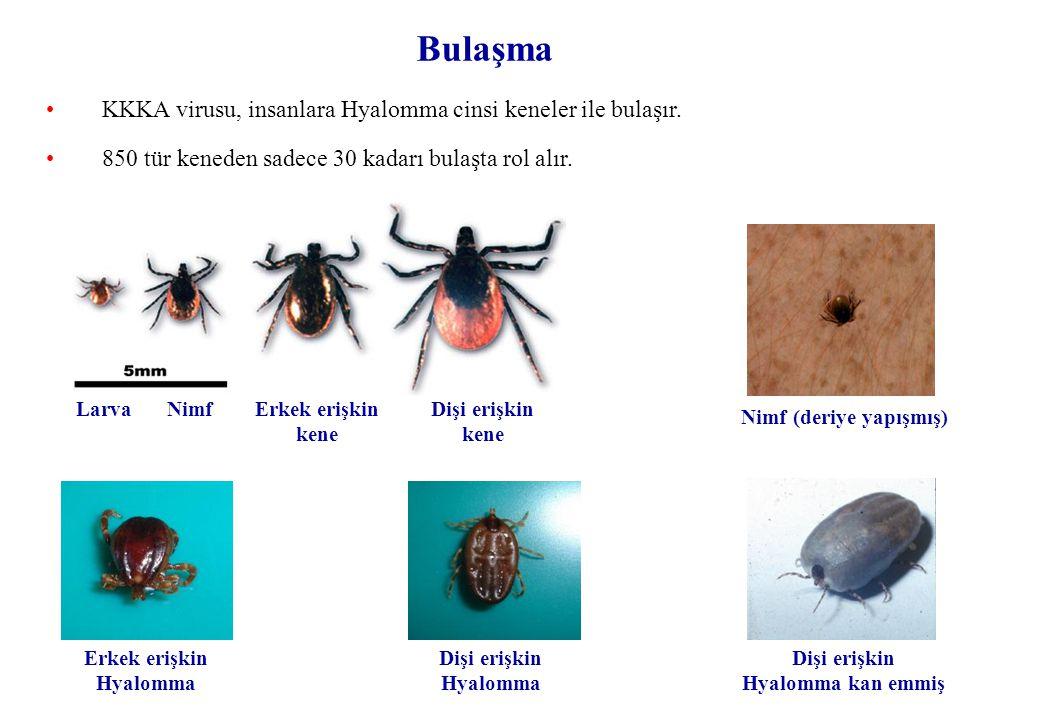 Bulaşma KKKA virusu, insanlara Hyalomma cinsi keneler ile bulaşır.