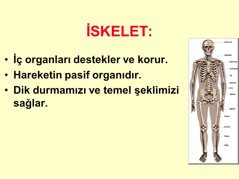 İSKELET: İç organları destekler ve korur. Hareketin pasif organıdır.
