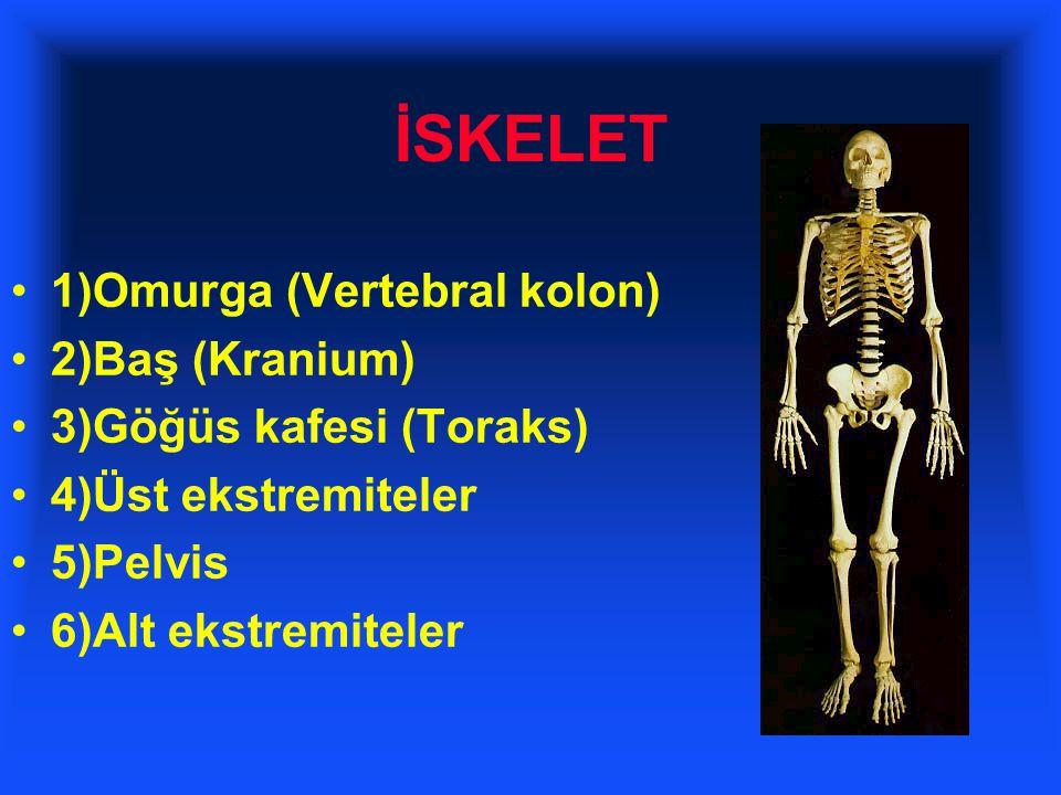 İSKELET 1)Omurga (Vertebral kolon) 2)Baş (Kranium)