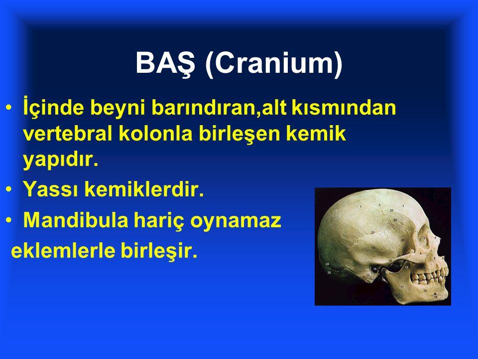 BAŞ (Cranium) İçinde beyni barındıran,alt kısmından vertebral kolonla birleşen kemik yapıdır. Yassı kemiklerdir.