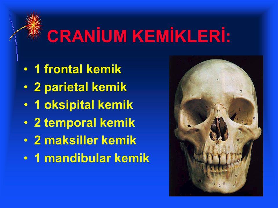 CRANİUM KEMİKLERİ: 1 frontal kemik 2 parietal kemik 1 oksipital kemik