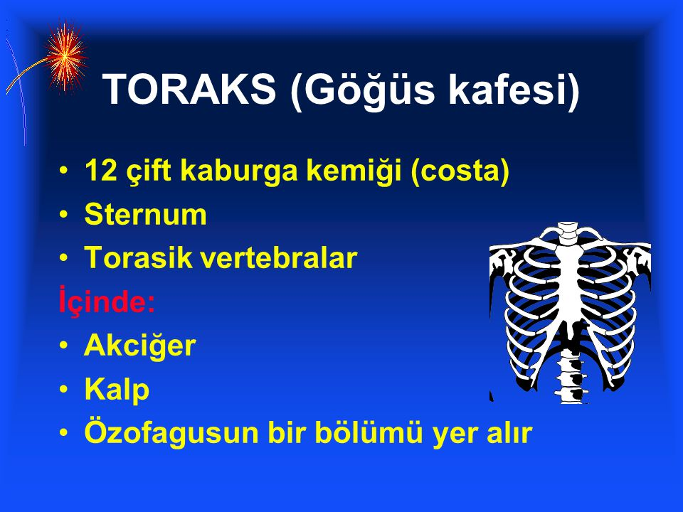 TORAKS (Göğüs kafesi) 12 çift kaburga kemiği (costa) Sternum