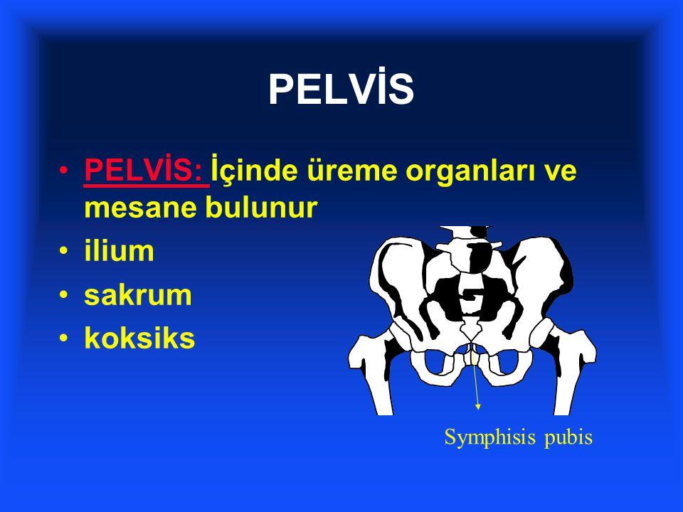 PELVİS PELVİS: İçinde üreme organları ve mesane bulunur ilium sakrum