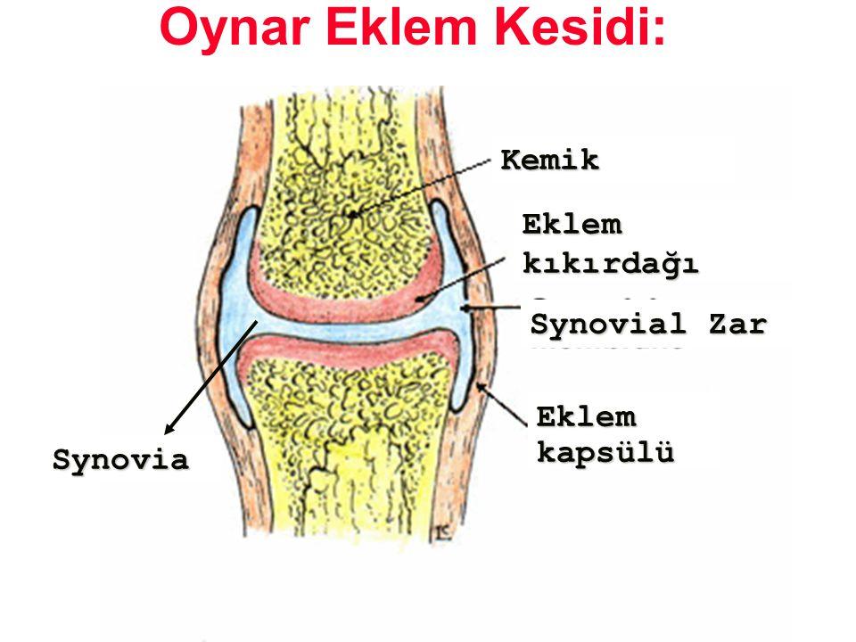 Oynar Eklem Kesidi: Kemik Eklem kıkırdağı Synovial Zar Eklem kapsülü
