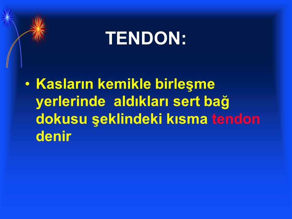 TENDON: Kasların kemikle birleşme yerlerinde aldıkları sert bağ dokusu şeklindeki kısma tendon denir.