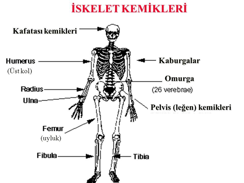 İSKELET KEMİKLERİ Kafatası kemikleri Kaburgalar Omurga
