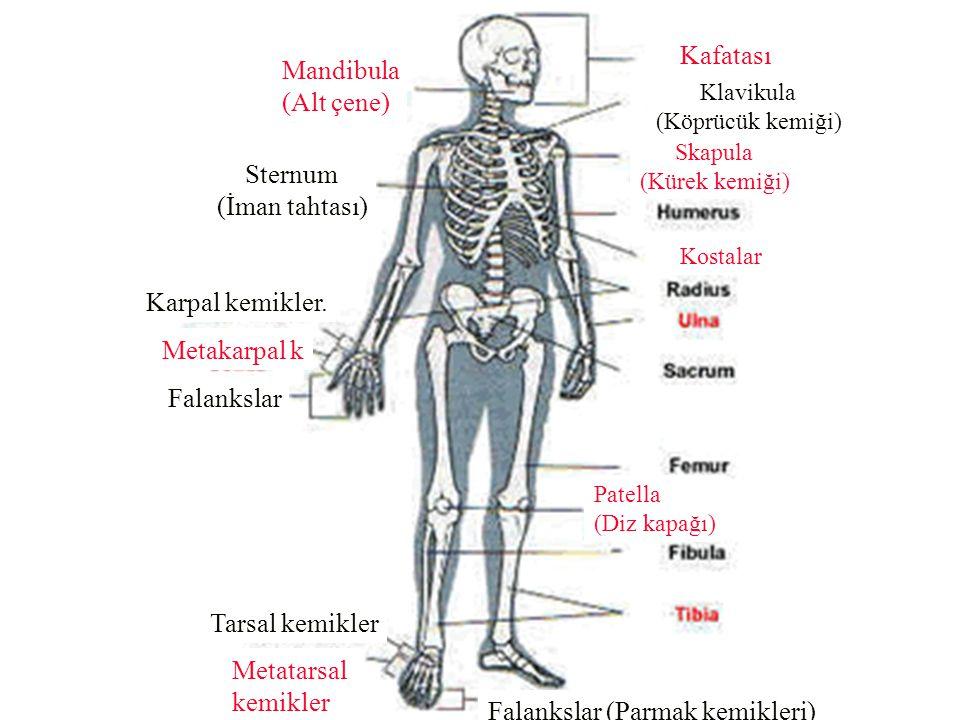 Falankslar (Parmak kemikleri)