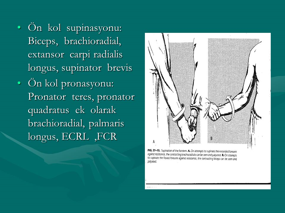 Ön kol supinasyonu: Biceps, brachioradial, extansor carpi radialis longus, supinator brevis