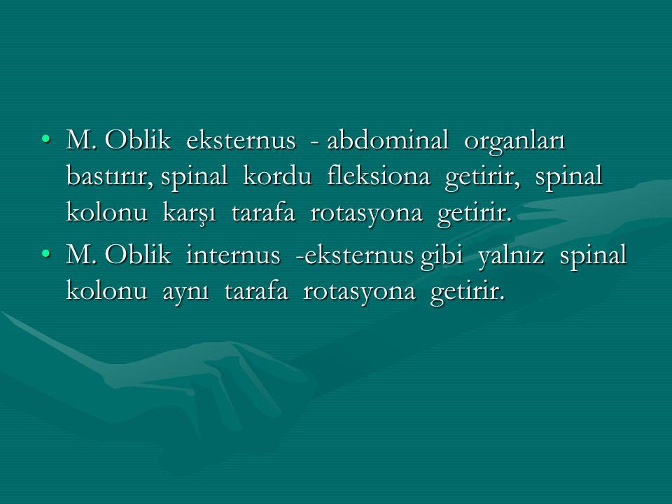 M. Oblik eksternus - abdominal organları bastırır, spinal kordu fleksiona getirir, spinal kolonu karşı tarafa rotasyona getirir.