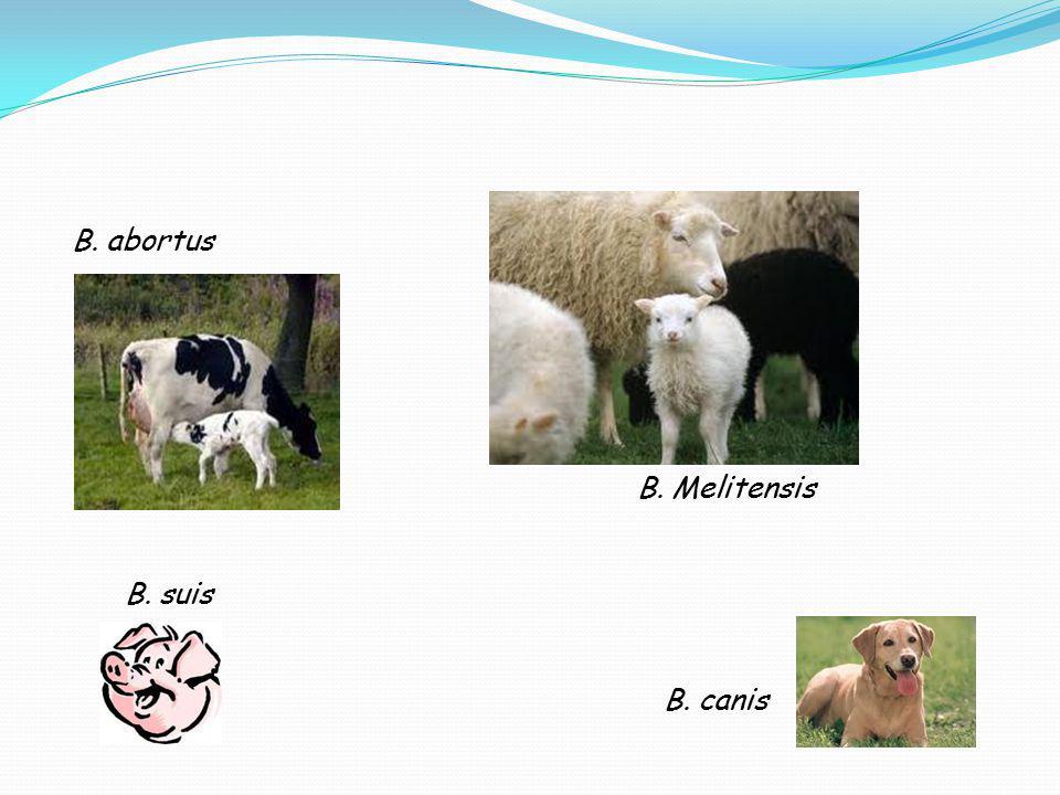 B. abortus B. Melitensis B. suis B. canis