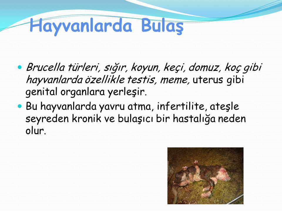 Hayvanlarda Bulaş Brucella türleri, sığır, koyun, keçi, domuz, koç gibi hayvanlarda özellikle testis, meme, uterus gibi genital organlara yerleşir.