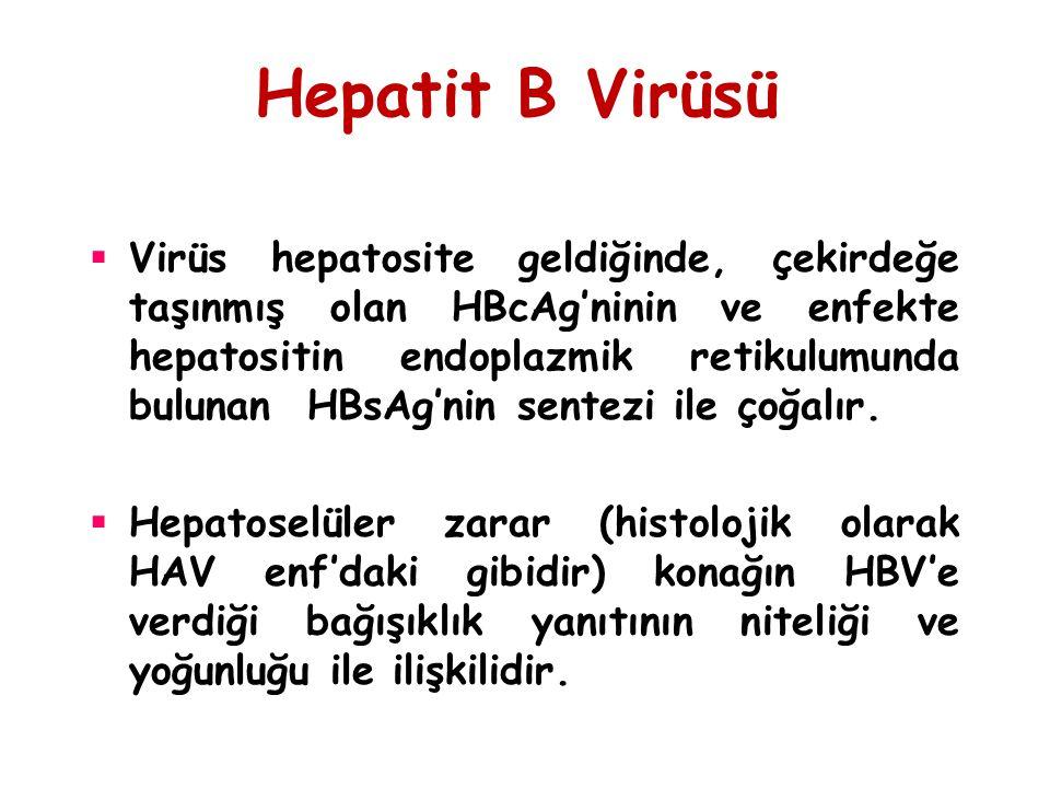 Hepatit B Virüsü