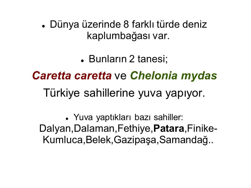 Caretta caretta ve Chelonia mydas Türkiye sahillerine yuva yapıyor.