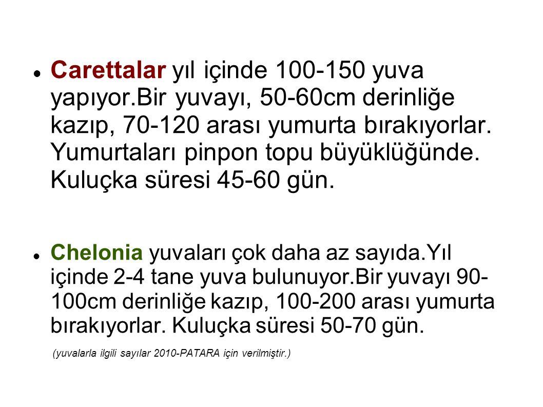 Carettalar yıl içinde 100-150 yuva yapıyor
