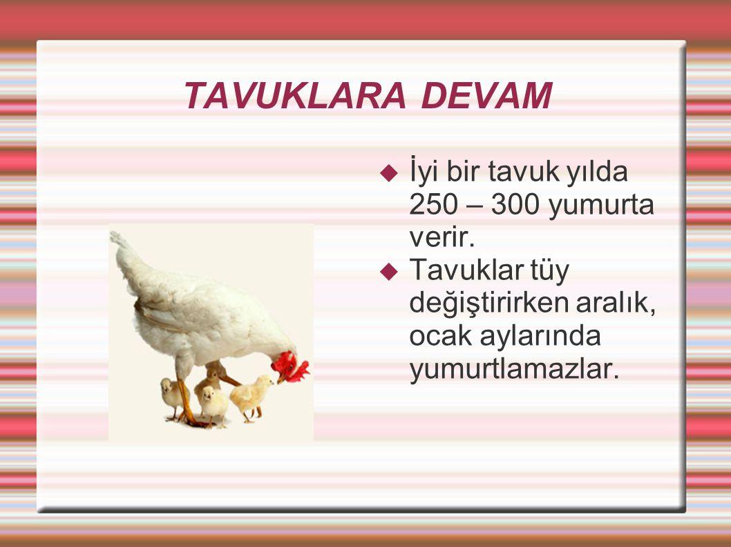 TAVUKLARA DEVAM İyi bir tavuk yılda 250 – 300 yumurta verir.