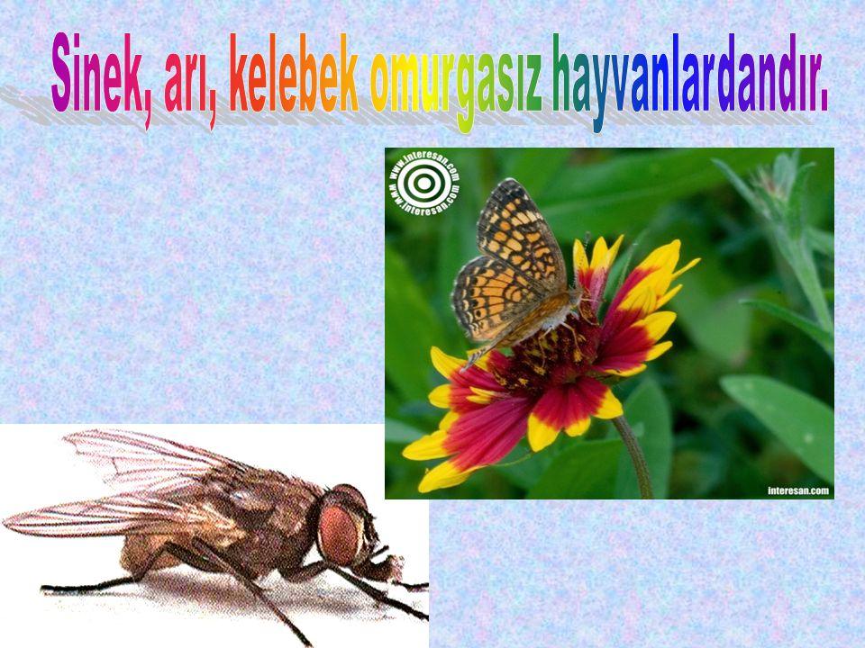 Sinek, arı, kelebek omurgasız hayvanlardandır.