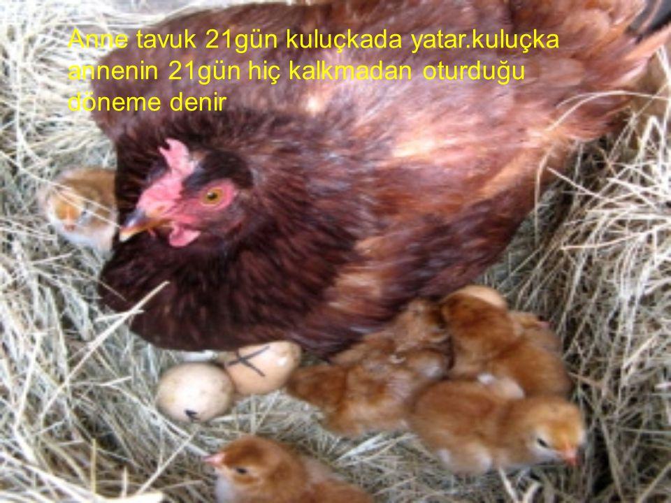 Anne tavuk 21gün kuluçkada yatar