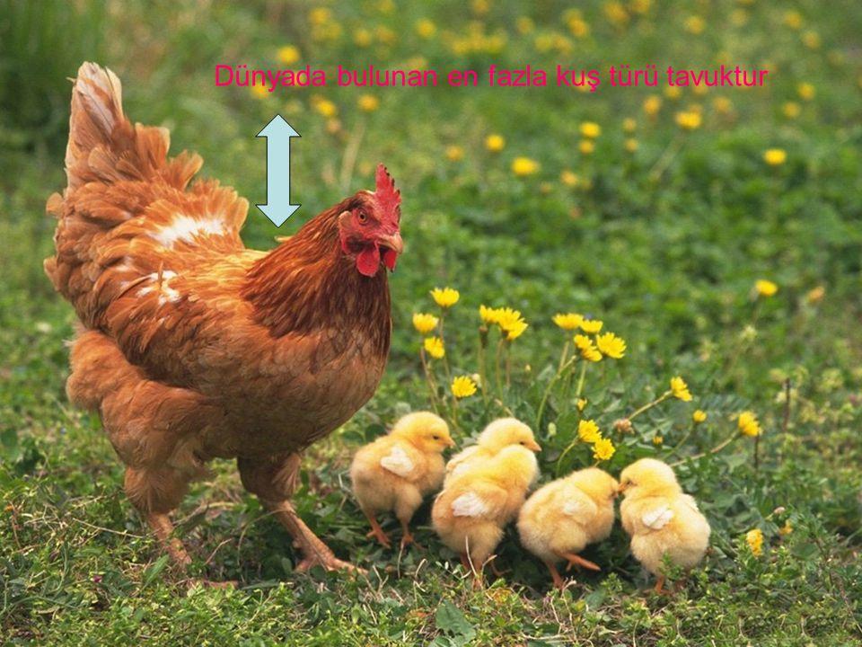 Dünyada bulunan en fazla kuş türü tavuktur
