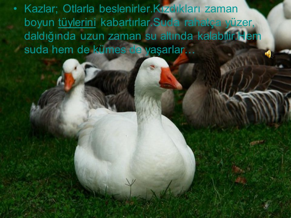 Kazlar; Otlarla beslenirler