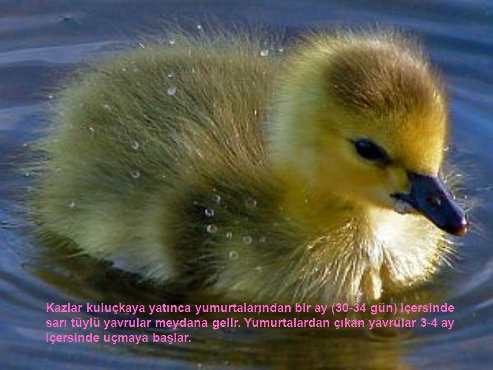 Kazlar kuluçkaya yatınca yumurtalarından bir ay (30-34 gün) içersinde sarı tüylü yavrular meydana gelir.
