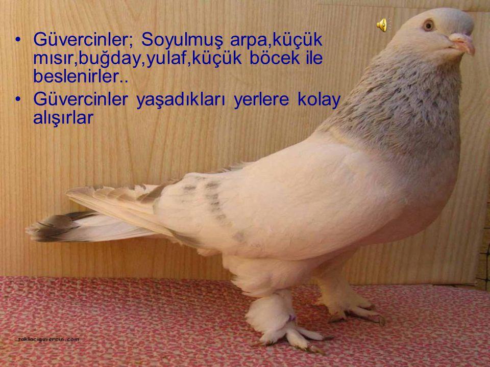Güvercinler; Soyulmuş arpa,küçük mısır,buğday,yulaf,küçük böcek ile beslenirler..