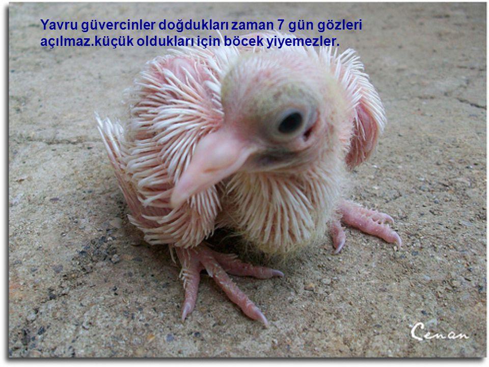 Yavru güvercinler doğdukları zaman 7 gün gözleri açılmaz