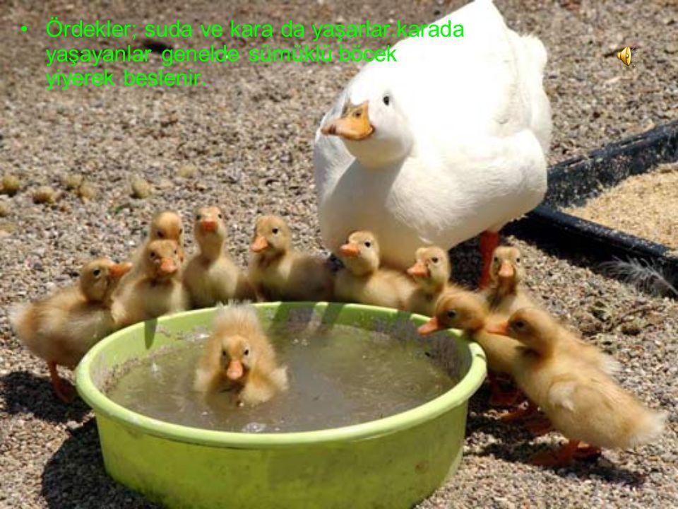Ördekler; suda ve kara da yaşarlar