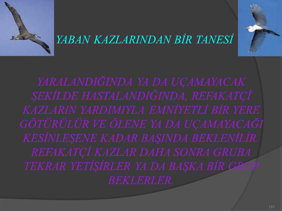 YABAN KAZLARINDAN BİR TANESİ
