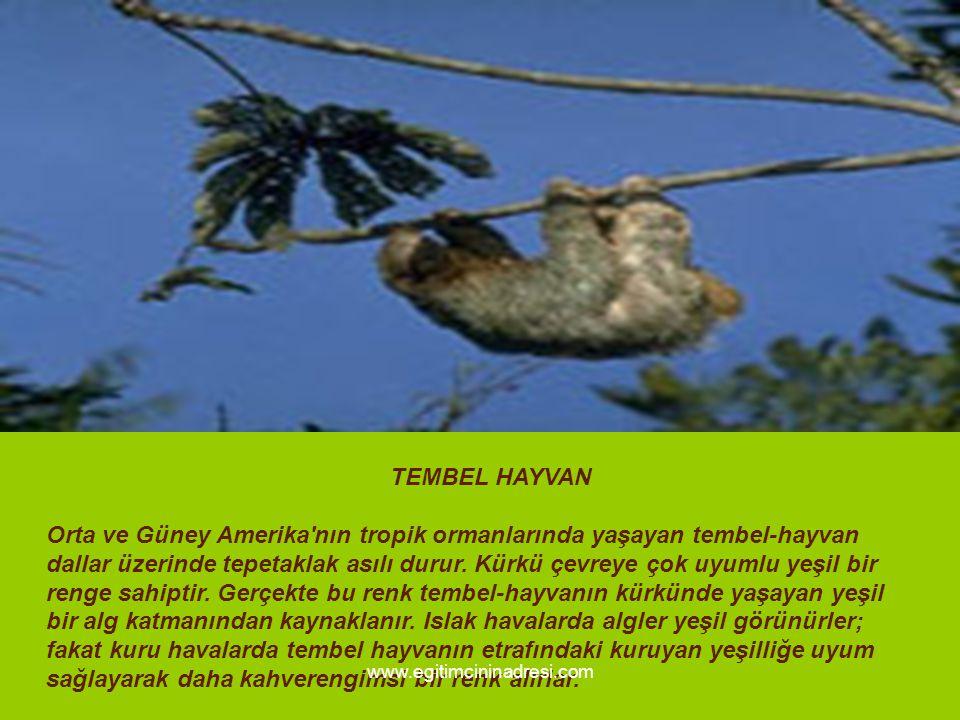 TEMBEL HAYVAN Orta ve Güney Amerika nın tropik ormanlarında yaşayan tembel-hayvan dallar üzerinde tepetaklak asılı durur. Kürkü çevreye çok uyumlu yeşil bir renge sahiptir. Gerçekte bu renk tembel-hayvanın kürkünde yaşayan yeşil bir alg katmanından kaynaklanır. Islak havalarda algler yeşil görünürler; fakat kuru havalarda tembel hayvanın etrafındaki kuruyan yeşilliğe uyum sağlayarak daha kahverengimsi bir renk alırlar.
