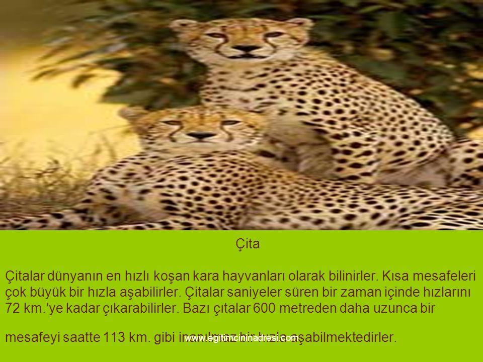 Çita Çitalar dünyanın en hızlı koşan kara hayvanları olarak bilinirler