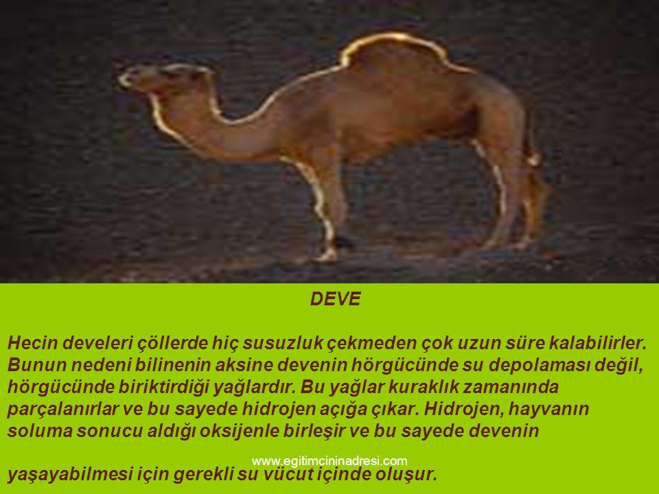 DEVE Hecin develeri çöllerde hiç susuzluk çekmeden çok uzun süre kalabilirler. Bunun nedeni bilinenin aksine devenin hörgücünde su depolaması değil, hörgücünde biriktirdiği yağlardır. Bu yağlar kuraklık zamanında parçalanırlar ve bu sayede hidrojen açığa çıkar. Hidrojen, hayvanın soluma sonucu aldığı oksijenle birleşir ve bu sayede devenin yaşayabilmesi için gerekli su vücut içinde oluşur.