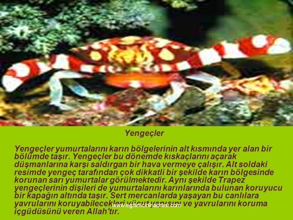 Yengeçler Yengeçler yumurtalarını karın bölgelerinin alt kısmında yer alan bir bölümde taşır. Yengeçler bu dönemde kıskaçlarını açarak düşmanlarına karşı saldırgan bir hava vermeye çalışır. Alt soldaki resimde yengeç tarafından çok dikkatli bir şekilde karın bölgesinde korunan sarı yumurtalar görülmektedir. Aynı şekilde Trapez yengeçlerinin dişileri de yumurtalarını karınlarında bulunan koruyucu bir kapağın altında taşır. Sert mercanlarda yaşayan bu canlılara yavrularını koruyabilecekleri vücut yapısını ve yavrularını koruma içgüdüsünü veren Allah tır.