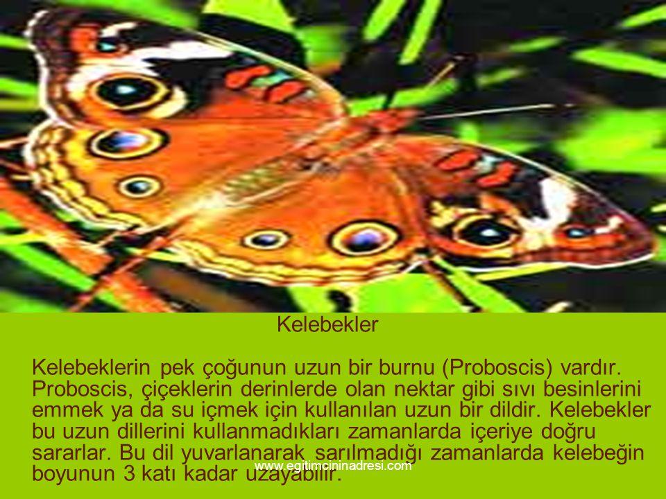 Kelebekler Kelebeklerin pek çoğunun uzun bir burnu (Proboscis) vardır