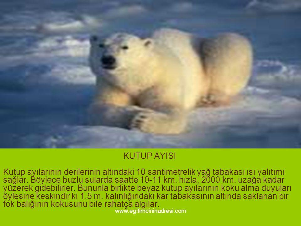 KUTUP AYISI Kutup ayılarının derilerinin altındaki 10 santimetrelik yağ tabakası ısı yalıtımı sağlar. Böylece buzlu sularda saatte 10-11 km. hızla, 2000 km. uzağa kadar yüzerek gidebilirler. Bununla birlikte beyaz kutup ayılarının koku alma duyuları öylesine keskindir ki 1.5 m. kalınlığındaki kar tabakasının altında saklanan bir fok balığının kokusunu bile rahatça algılar.