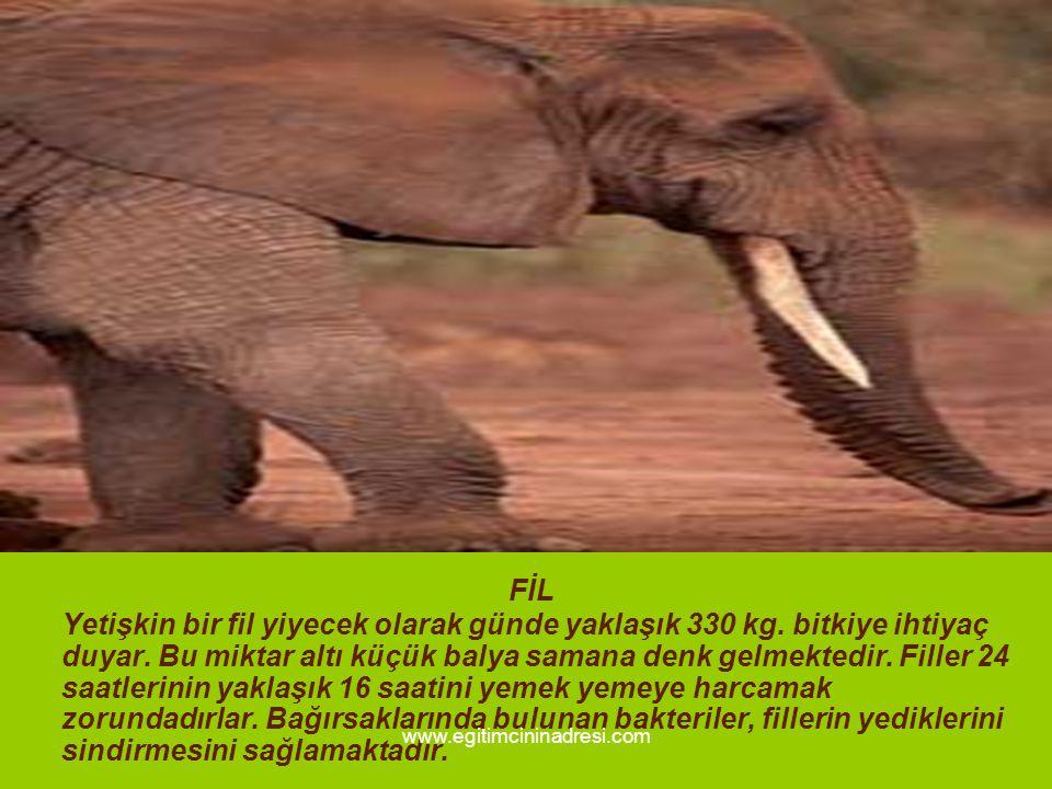 FİL Yetişkin bir fil yiyecek olarak günde yaklaşık 330 kg