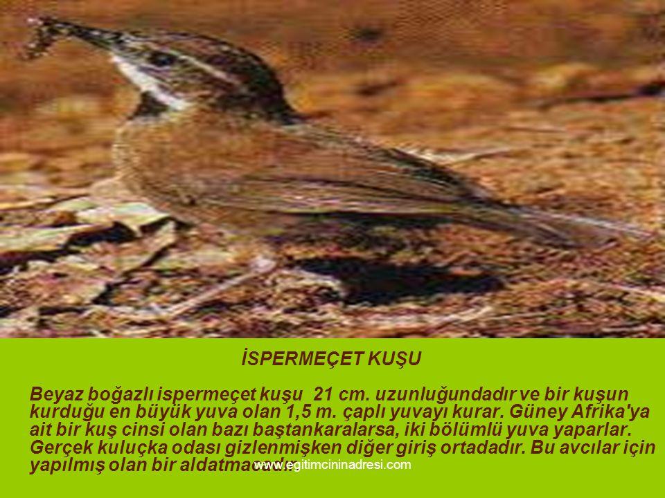 İSPERMEÇET KUŞU Beyaz boğazlı ispermeçet kuşu 21 cm