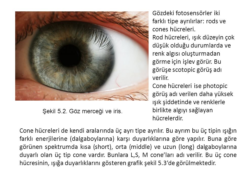 Şekil 5.2. Göz merceği ve iris.