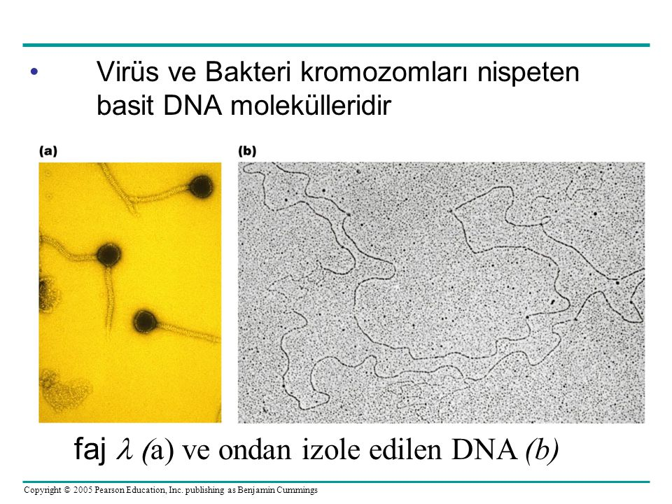faj  (a) ve ondan izole edilen DNA (b)